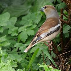 P1007727_b (daniellelallemand) Tags: oiseaux grosbec lumixg9
