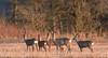 Roe Deer herd (Wouter's Wildlife Photography) Tags: roedeer deer herd capreoluscapreolus nature naturephotography wildlife wildlifephotography animal mammal rådyr billund sunset