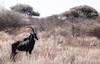 Sable (CD_MT) Tags: 70200mmf28 africa blacksable broadside brush cdmt clearsky d300 gps nikkor nikkorlens nikon safari southafrica wildlife barkleywest northerncape za