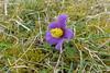 im Gillesbachtal blühen die Kuhschellen (mama knipst!) Tags: kuhschelle küchenschelle wildblume frühling spring b lume flower fleur