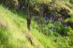 Hillside (buffdawgus) Tags: lupine spring landscape canon70200mm28l canon5dmarkiii oaktree lightroom6 topazsw springtime buttermilktrail southyubariverstatepark nevadacounty california