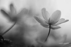 Bosanemoon/Wood anemone (roelivtil) Tags: anemone anemonenemorosa anemoon blackwhite monochrome monochromebokehthursday smellfox thimbleweed windflower