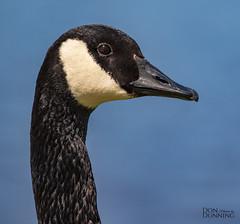 Canada Goose (Branta Canadensis) (Don Dunning) Tags: animals birds brantacanadensis california canadagoose canon7dmarkii canonef100400mmisiiusm elliscreekponds goose petaluma unitedstates