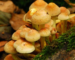 Mushrooms in the woods (Puckpics) Tags: mushroom toadstool flora yellow decay autumn macro