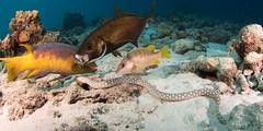 OK photo...fascinating animal behavior (Gérard & Beth) Tags: bonaire eel elegancia sharptail underwater spanish hogfish bar jack schoolmaster reef diving scuba caribbean nauticam sand behavior
