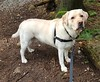 Gracie looking up at me (walneylad) Tags: gracie dog canine pet puppy cute lab labrador labradorretriever april spring afternoon princesspark
