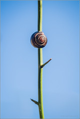 SnailOnAStick (mikeyp2000) Tags: branch stick blue green wildlife nature macro snail
