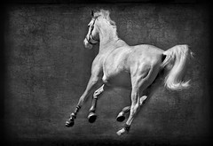 Freedom (Christina's World-) Tags: artistic animal blackbackground creative california country digitalart dramatic dark exotic exoticimage horse monochrome mood nature outdoors equestrian sandiego textures usa unitedstates white whitehorse running blackandwhite tail beautiesbeasts
