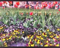 #hungary #photography #photographer #flowers #colorful #red #green #yellow #sunnyday #goodweather #szekesfehervar #hun #hungarian (oliviart299) Tags: hungary photography photographer flowers colorful red green yellow sunnyday goodweather szekesfehervar hun hungarian