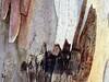 Eucalyptus Abstract (Bennilover) Tags: tree trees bark peeling shaggy spring eucalyptus planotrabucotrail walking