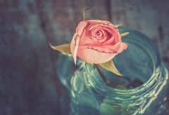pink n blue (Ayeshadows) Tags: rose pink blue bell jar glass
