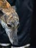 Long Nose (Scott 97006) Tags: animal dog canine cute nose greyhound hound pet wet
