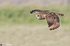 SEO at Portland, Dorset (Paul Forgham) Tags: shortearedowl seo bif owl bird flight paulforgham portland dorset asioflammeus nature predator birdofprey