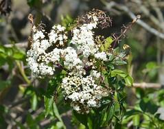 a lmn  elderflower DSC_0112 (eustatic) Tags: basa wildlife grn lmn