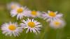 C'est moi la plus belle  !!! (thierrymazel) Tags: fleurs flowers bokeh daisy paquerettes pdc dof profondeurdechamp printemps jardin