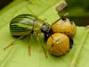 Beetle with larvae, Proseicela antennalis (Eerika Schulz) Tags: beetle käfer larve larva larvae leaf puyo ecuador proseicela antennalis