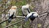 Sibling Anhinga Chicks (Anhinga anhinga); Corkscrew Swamp Sanctuary, Florida [Lou Feltz] (deserttoad) Tags: nature trees swamp florida bird wildbird nest anhinga young behavior preserve fish