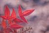 feuilles sucrées (christophe.laigle) Tags: rouge christophelaigle macro nature hiver fuji pluie feuille xpro2 xf60mm red