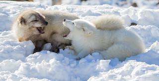 Fox Squabble