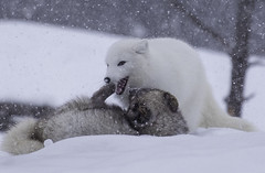 Frolicking in the snow (Karma2c) Tags: arctic fox