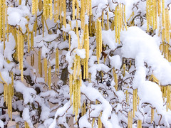 Printemps (Clydomatic) Tags: noisetier chaton jaune neige hiver printemps blanc