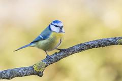 Eurasian blue tit (Cyanistes caeruleus) (Augustas Kemežys) Tags: melynoji zyle pretty bird yellow blue passerine nature branch colors lithuania lietuva lt ltu gamta paukstis canon 6d tamron 70300 telephoto wildlife