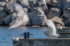Room for only one owl in this marina (rdroniuk) Tags: birds raptors owl birdsofprey owls snowyowl snowyowlirruption buboscandiacus oiseaux oiseauxdeproie rapaces hibou hiboublanc harfangdesneiges