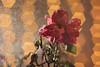 Rose II (Łukasz Ostrowski) Tags: rose bokeh water watering pentacon 50mm nikon d5200 backlight flower removedfromstrobistpool nostrobistinfo seerule2