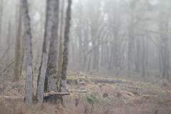 Mount Talbert (Tony Pulokas) Tags: spring oregon portland mttalbert mounttalbertnaturepark bokeh blur mounttalbert tilt tree forest oak oregonoak moss fog oregongrape