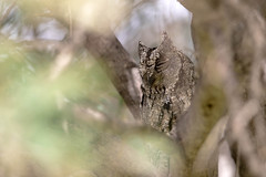 Cyprus Scops Owl_w_8607 (Daly Wildlife) Tags: cyprusscopsowl otuscyprius olivegrove roost nocturnal daylight cyprusendemic mediterraneansea cyprus