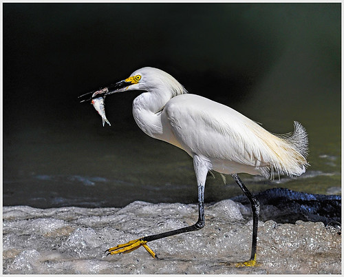50 - Snowy Egret with Catch