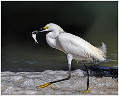 50 - Snowy Egret with Catch