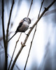 Love The Long-Tails (Fourteenfoottiger) Tags: nature badgerface bird wildbird wildlife longtailedtit tree branch perch cute tiny small pink