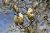 Yellow lantern magnolia flowers (JSB PHOTOGRAPHS) Tags: nd3095800001 yellow lantern magnolia flowers eugeneoregon altonbakerpark nikon bokehlicious fx bokeh d3 28300mm