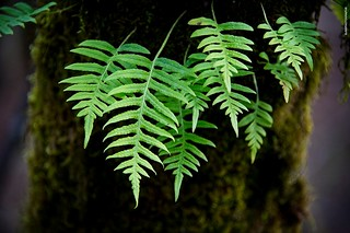 Ferns at Dorris Ranch