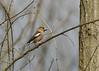 Grosbec casse-noyaux (JFB31) Tags: grosbeccassenoyaux coccothraustescoccothraustes hawfinch passériformes fringillidés