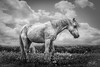B+W Horse 3 (AnthonyCNeill) Tags: horse pferd caballo cheval blackandwhite blancaynegra blancetnoir bw schwarzweiss equine equestrian outdoor animal countryside field moody sombre sad