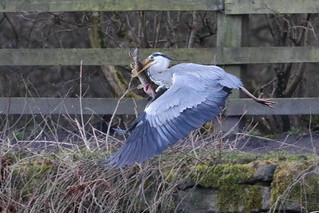 Heron with large pike2_339A3777