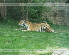 Ready to Pounce (ficktionphotography) Tags: amurtiger tiger siberiantiger philadelphiazoo zoophotography zoo bigcats wildlife