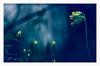 IMGP0199 (angel.doychinov) Tags: smc pentaxm 135mm k5 bokeh flower nature spring