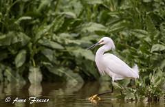 Snowy Egret (Anne Marie Fraser) Tags: water bird snowyegret egret nature wildlife pond