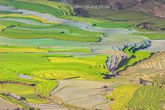 File581.0617.Trồng Tồng.Cao Phạ.Mù Cang Chải.Yên Bái (hoanglongphoto) Tags: asia asian vietnam northvietnam northwestvietnam landscape scenery vietnamlandscape vietnamscenery vietnamscene terraces terracedfields terracedfieldsatvietnam transplantingseason sowingseeds afternoon sunny sunnyafternoon sunnyweather valley flanksmountain hdr canon tâybắc yênbái mùcangchải caophạ phongcảnh ruộngbậcthang ruộngbậcthangmùcangchải thunglũng mùacấy đổnước mùacấymùcangchải đổnướcmùcangchải sườnnúi buổichiều nắng nắngchiều bóngđổ abstract trừutượng curve đườngcong trồngtồng thunglũngcaophạ canoneos1dx canonef500mmf4lisiiusm