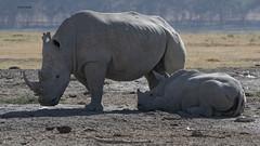 White Rhinos, nursing's exhausting! (featherweight2009) Tags: whiterhinoceros ceratotheriumsimum squarelippedrhinoceros rhinoceruses rhinos mammals africa