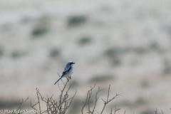 israel-lifers-14 (lensander2015) Tags: birds shrikes