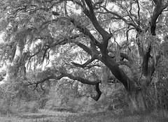 Tree Tuesday (BackEastPhoto) Tags: mamiya mamiya6451000s classicmamiya 45mmf28n mamiyawideviews ilford ilfordhp5 hp5 mediumformat film m645 120film ilfotecddx ddx filmisnotdead believeinfilm tree moss southcarolina