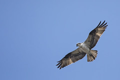 Soaring into the Weekend (gimmeocean) Tags: osprey miltonlake rahway newjersey nj wildlife