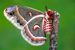 Hyalophora cecropia (Charaxes14) Tags: lepidoptera insect kelebek insecta arthropoda arthropod lighting shadow green macro animal spring beautiful wonderful amazing fresh cloudy beauty nature bokeh fantastic yellow moth saturniidae saturnid silkmoth north america eye eyes nearctic hyalophora cecropia red