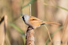 Bearded Tit (Ian Locock Photography) Tags: 2017 beardedtit birds radipolelake