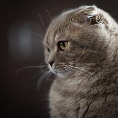 Chivas (Rainbow 4A) Tags: nikon d810 850 mm f14 cat adorable domestic eye furry pet fur nose portrait scottish fold sigma 85mm dg hsm a bokeh