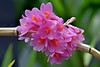 Orchid (chooyutshing) Tags: flower orchid cloudforest gardensbythebay baysouth marinabay singapore
